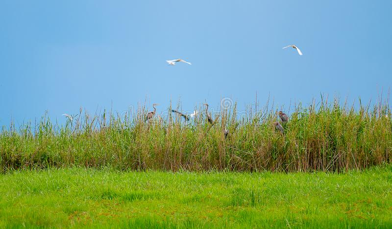 Soft blur image of wild bird habitat in the green grass field with blue sky as background and some bird is flying over the habitat.  royalty free stock images