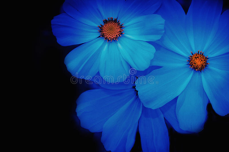 Soft And Blurred Blue Cosmos Flower Stock Photo - Image ...