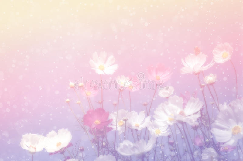 Soft and blurred cosmos flower with water spray on pastel filter royalty free stock image