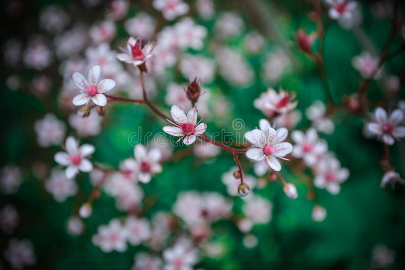 Soft cherry flowers in your hart. Delicate, beautiful and catchy flowers stock image