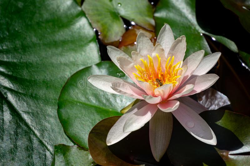 Soft close-up amazing bright pink water lily or lotus flower Marliacea Rosea with fly in. Nympheas are so beautiful in old pond. Summer flower landscape, fresh stock photo