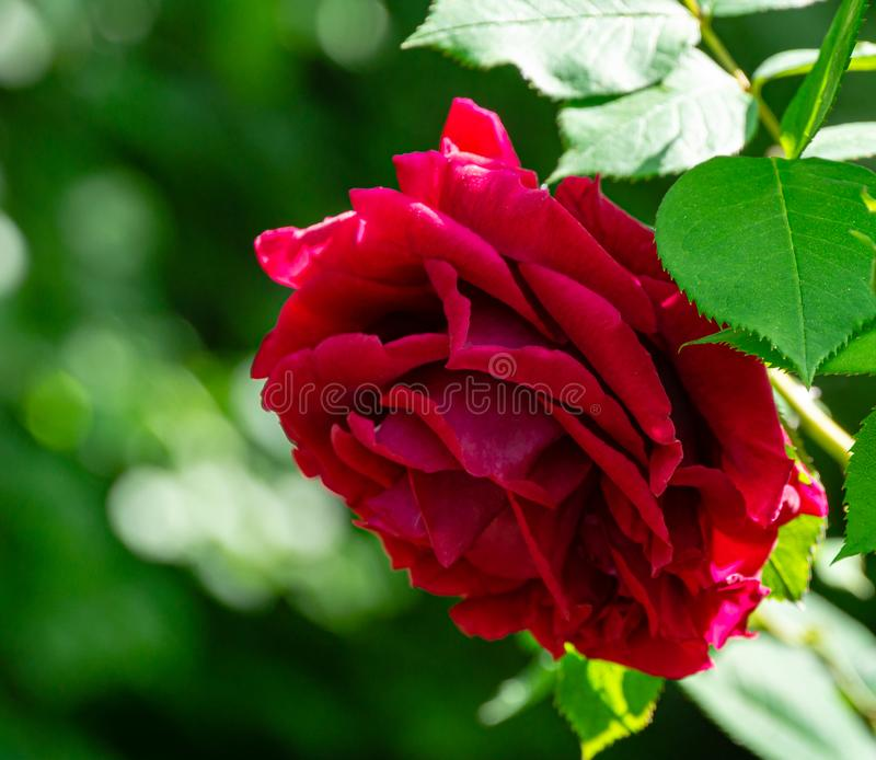 Soft close-up of beautiful big red purple rose in natural sunlight on dark green bokeh background. Rose with many amazing petals stock photography