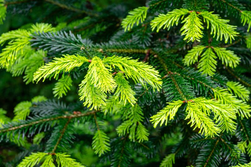 Soft close-up of beautiful bright young needles on dark green branches of coniferous tree fir Abies nordmanniana stock images