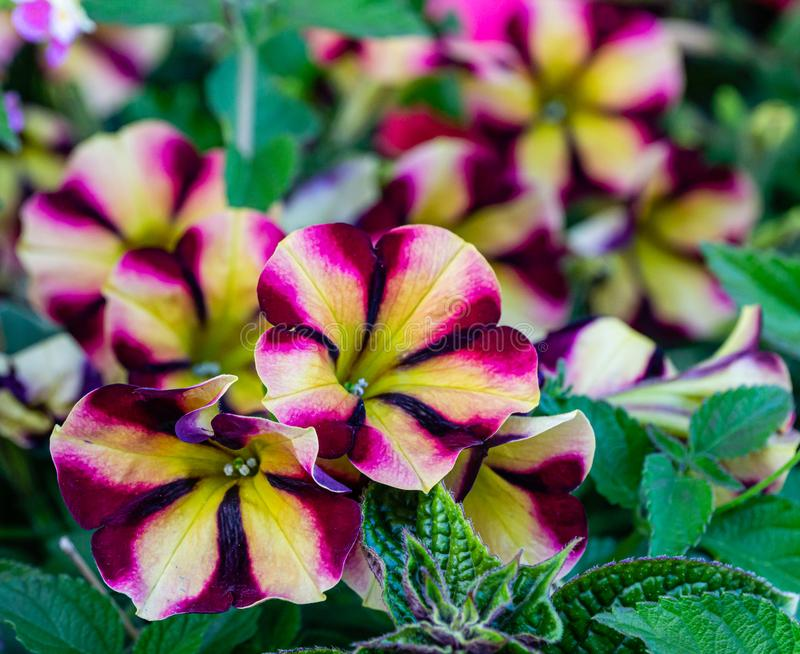 Soft close-up beautiful colorful blooming Petunia flowers Petunia hybrida with purple, yellow and white stripes. Summer flower landscape, fresh wallpaper and royalty free stock photo