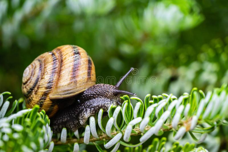 Soft close-up of beautiful Helix pomatia, Roman snail, Burgundy snail on silver needles of Abies koreana Silberlocke. Beautiful light shell and dark snail leg royalty free stock images