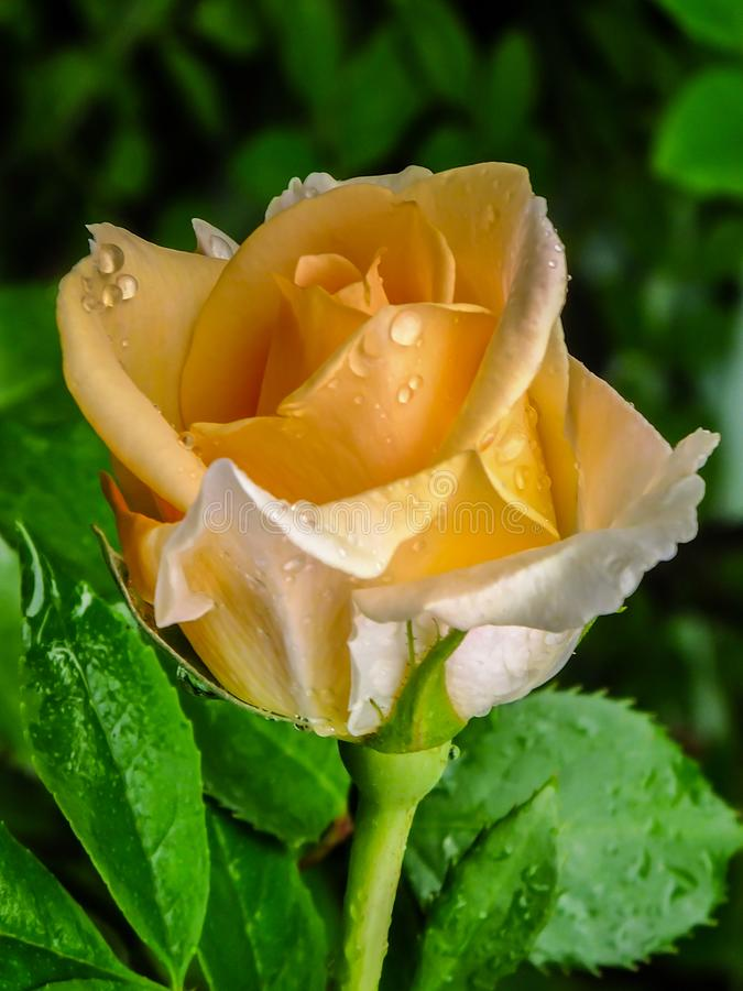 Soft close-up of beautiful light orange rose bud Versilia after the rain. Amazing rose petals are covered with rain drops. Rose on royalty free stock image