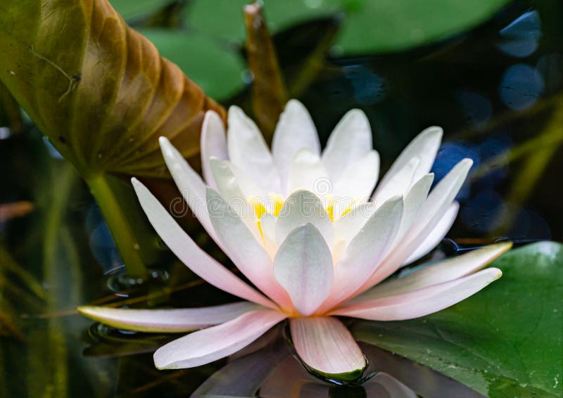 Soft close-up bright pink water lily or lotus flower Marliacea Rosea in garden pond. Focus on forward petals of Nymphaea. Summer flower landscape, fresh stock image