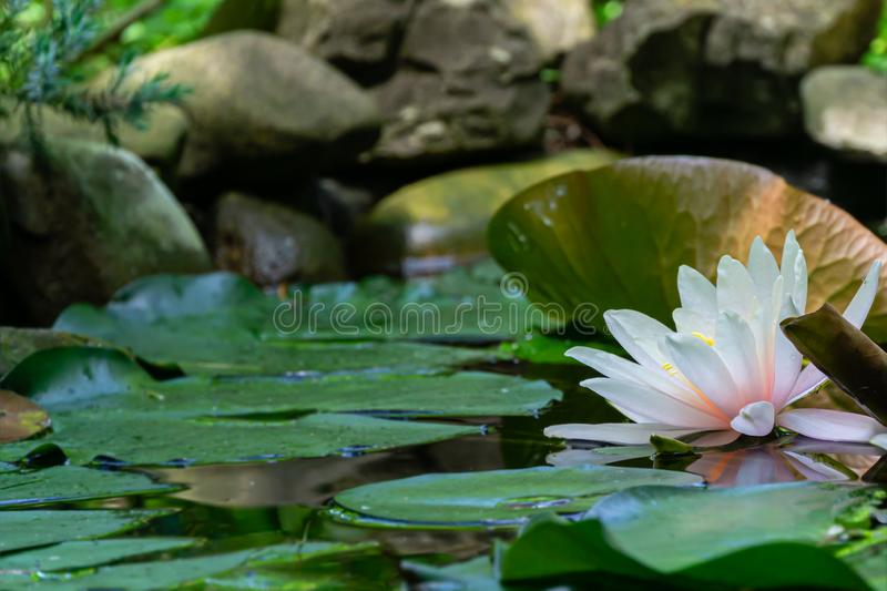 Soft close-up bright pink water lily or lotus flower Marliacea Rosea in old pond. Beautiful Nymphaea in sunlight. Selective focus.Summer flower landscape, fresh stock image