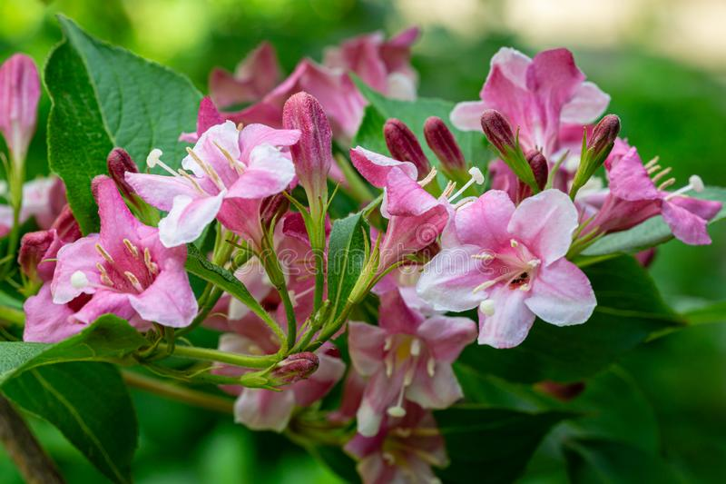 Soft close-up of flowering Weigela hybrida Rosea. Selective focus and close-up beautiful bright pink flowers. Against the evergreen in the ornamental garden stock photos