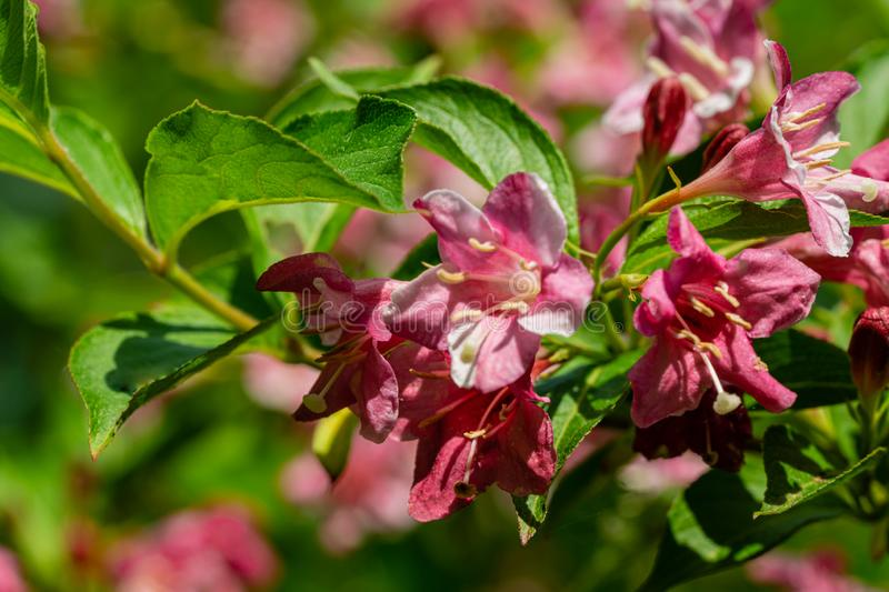 Soft close-up of flowering Weigela hybrida Rosea. Selective focus and close-up beautiful bright pink flowers stock photo