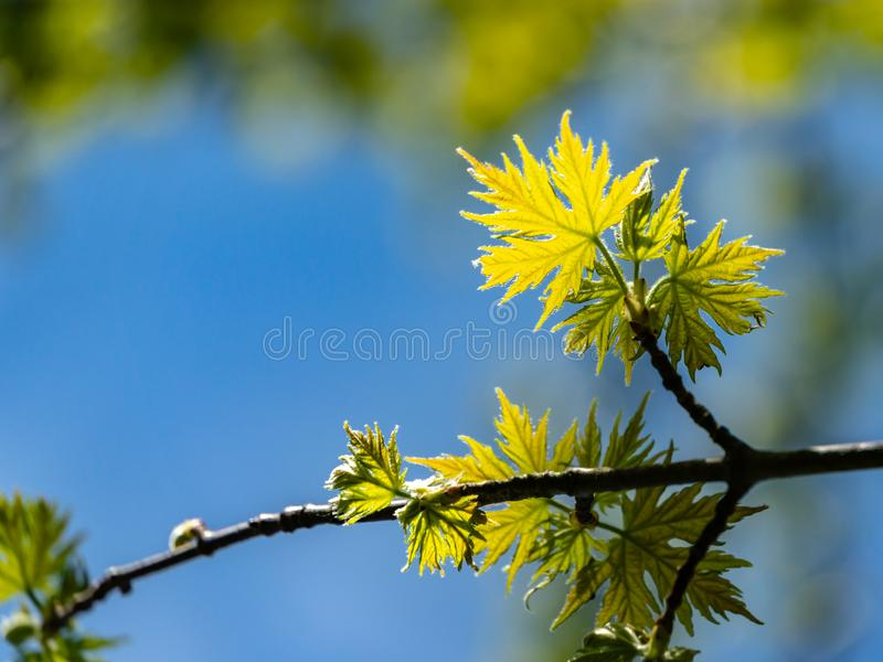 Soft close-up focus of young green graceful leaves of Acer saccharinum against background of blurry spring garden. Nature concept for design stock photography