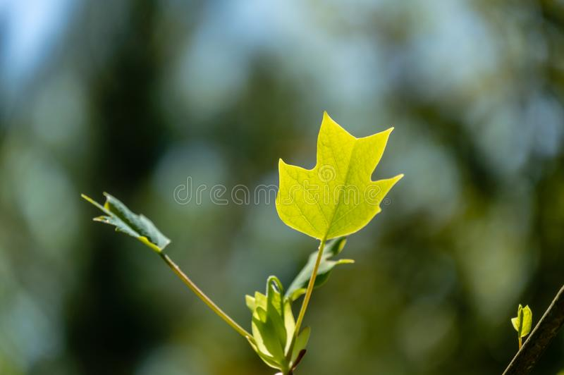Soft close-up focus of young green leaf of tulip tree Liriodendron tulipifera in focus against background of blurry spring garden. Nature concept for design stock image