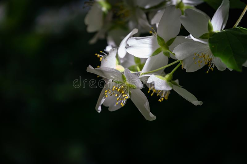 Soft close-up of jasmine flowers Philadelphus lewisii on the bush with a black background in sunlight in spring garden. Selective focus. Amazingly natural royalty free stock photos