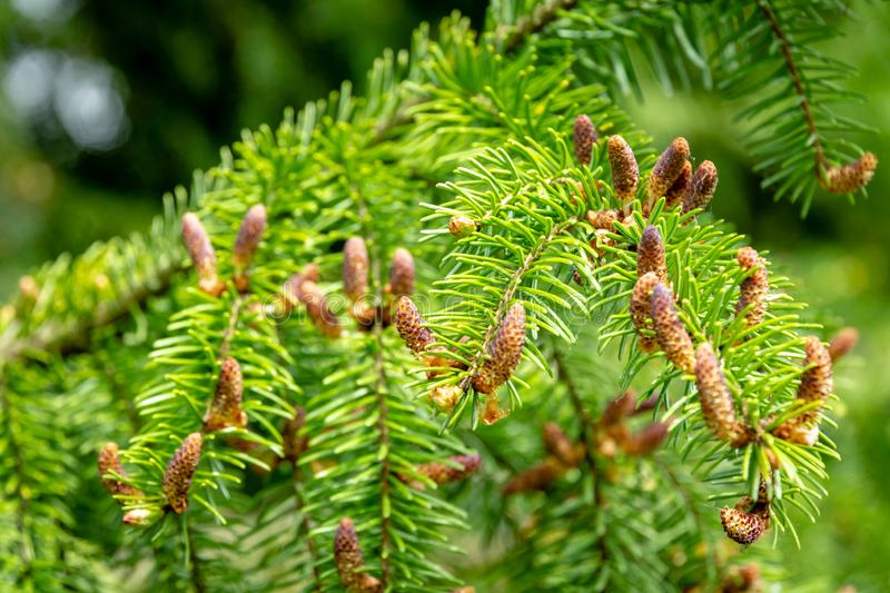 Soft close-up of male young pine cones on branches of Picea omorika on green background. Sunny day in spring garden. Nature concept for design stock photography