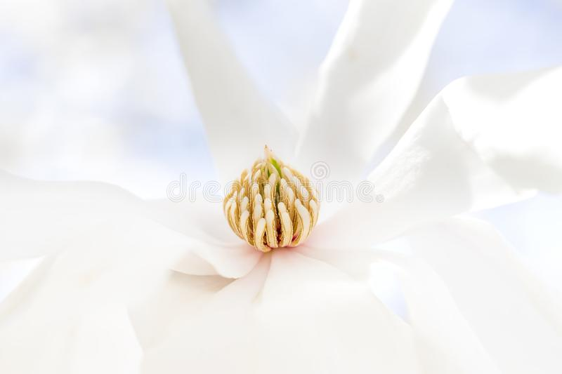 Soft closeup of pure white Star Magnolia flower. Tranquility, peace or gardening concept royalty free stock image