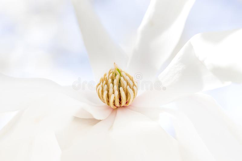 Soft closeup of pure white Star Magnolia flower. Tranquility, peace or gardening concept royalty free stock photos