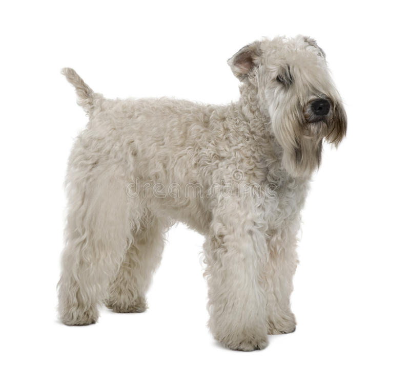 Soft-coated Wheaten Terrier, Standing Stock Image - Image of long ...