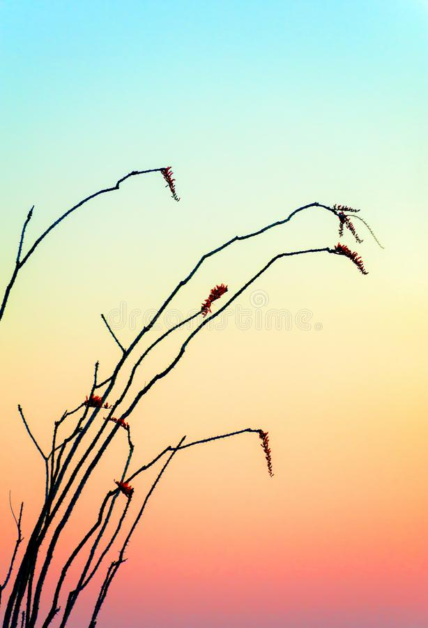 Ocotillo plant against a rising sun colored sky. Soft colors of the rising sun provide a silhouetting a Ocotillo plant in the Arizona desert. A Zen Moment royalty free stock images