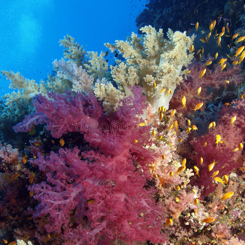 Soft coral royalty free stock photography