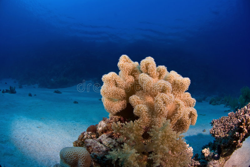 Download Soft coral stock photo. Image of marine, tropical, ocean - 3501348