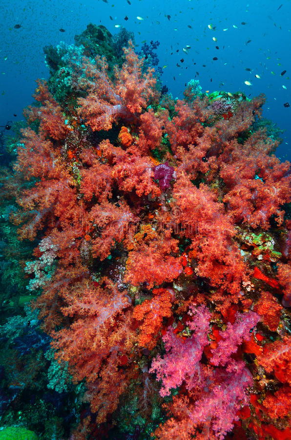 Soft coral colony royalty free stock photography
