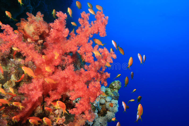 Download Soft Coral And Lyretail Anthias Stock Image - Image of environment, clear: 10054543
