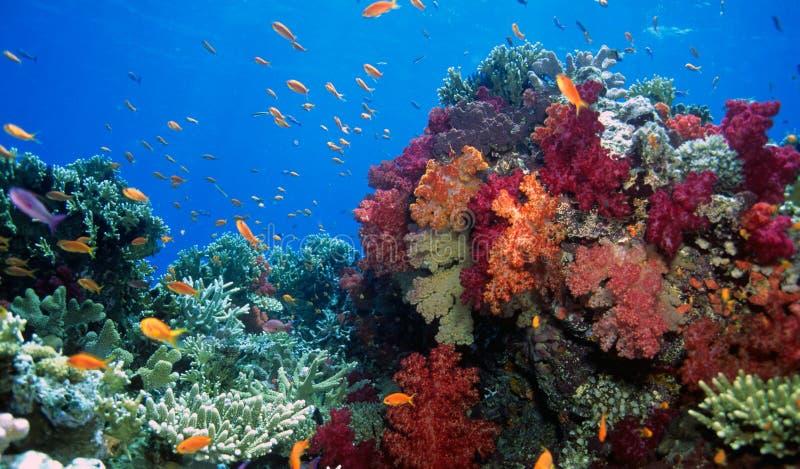 Soft coral reef scene. Beauitful Fiji soft coral gardens