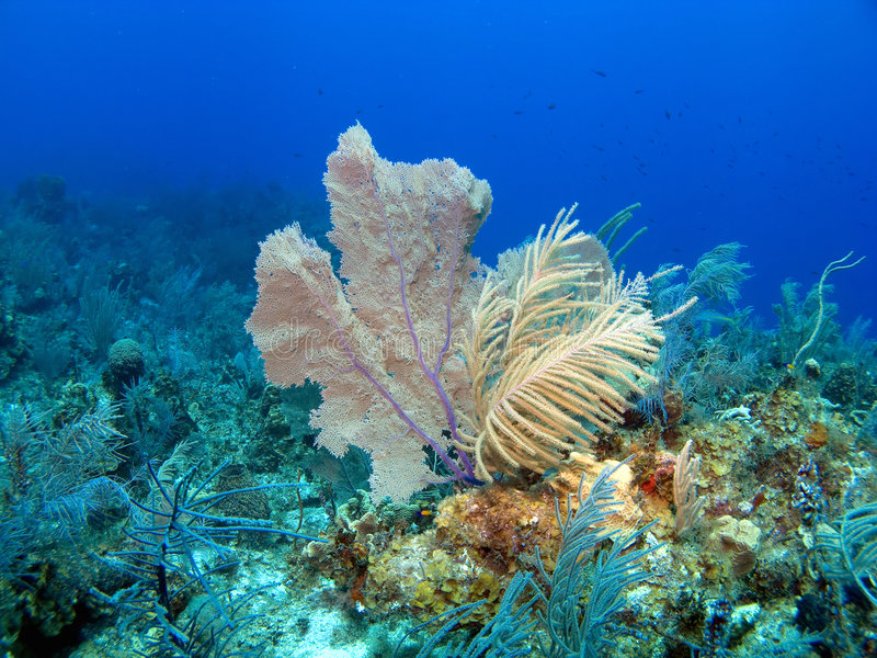 Soft Coral and sea Fan. In the Cayamn Islands royalty free stock images
