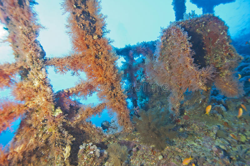 Soft coral on a shipwreck royalty free stock photography