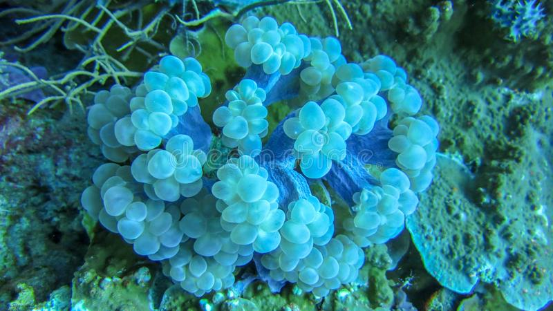 Soft coral of slightly blue color. Sea anemone. Dense overgrown coral bedrock. Colorful underwater life. royalty free stock photo