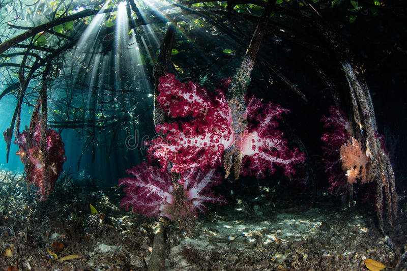 Soft Corals, Mangrove, and Sunlight in Raja Ampat. Beams of light fall on soft corals growing in a mangrove forest in Raja Ampat, Indonesia. This remote region stock images