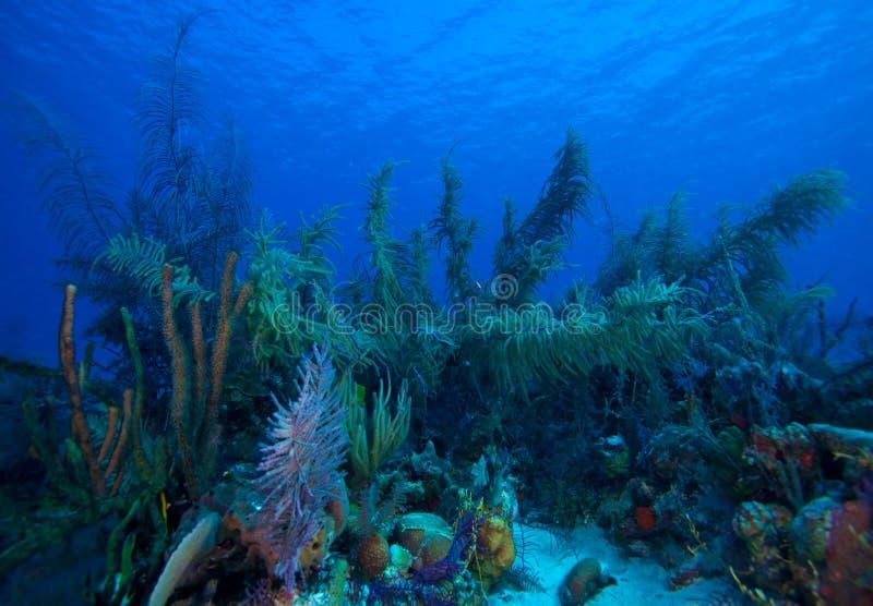 Download Soft Corals Near Cayo Largo, Cuba Stock Photo - Image: 26512716