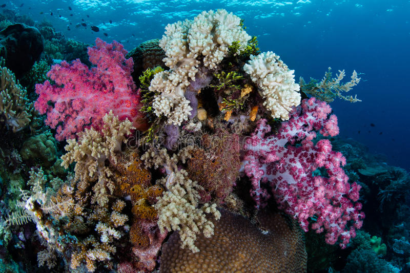 Soft Corals in Raja Ampat. A beautiful bouquet of soft corals grows on a coral reef in Raja Ampat, Indonesia. This remote region is known as the heart of the stock photo
