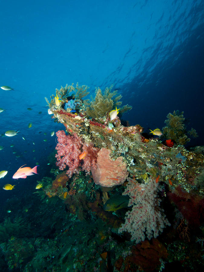 Soft corals on USAT Liberty. The United States Army Transport ship Liberty is festooned with colourful sponges, soft and hard corals, tunicates and all manner of stock photos