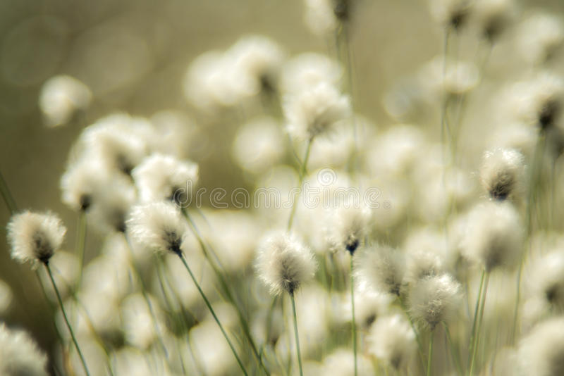 Soft Cotton grass. Cotton grass or Wollgras, or Eriophorum plant near swamp stock photography