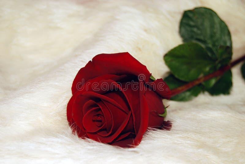 Red rose on white fur. Single red rose on white rabbit fur stock images