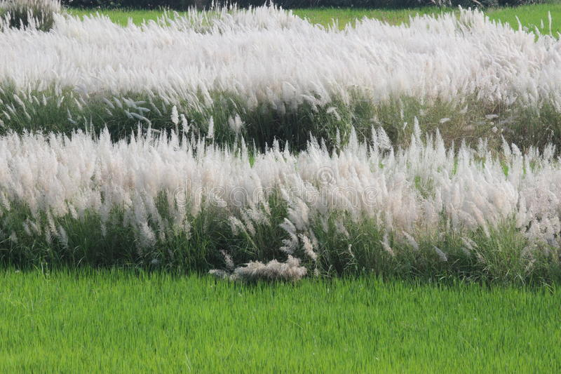 Soft feather grass stock photo