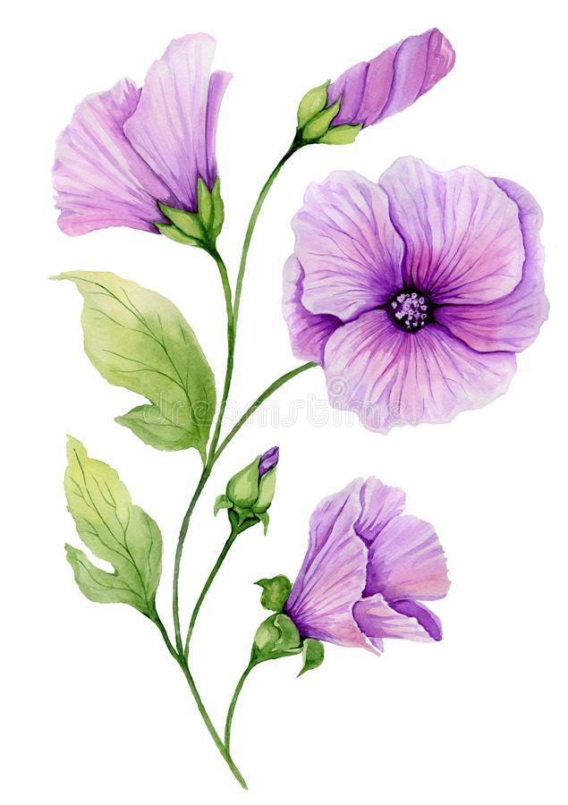 Soft floral illustration. Beautiful purple lavatera flowers on a twig with green leaves and closed buds isolated on white backgrou stock illustration