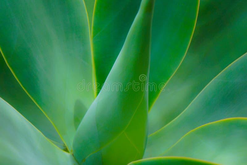 Soft focus Aloe Cactus Plant. Maui tropical garden green aloe plant with soft focus stock image