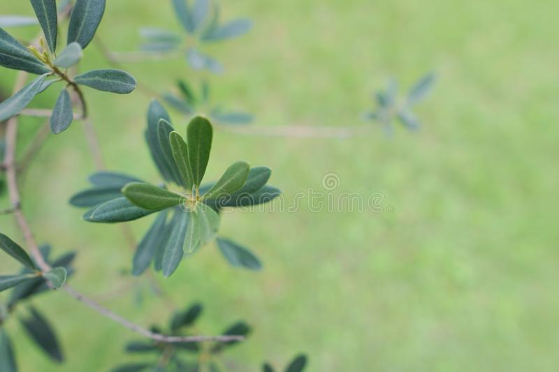 Soft Focus of avocado leaves on blurred background. royalty free stock photography