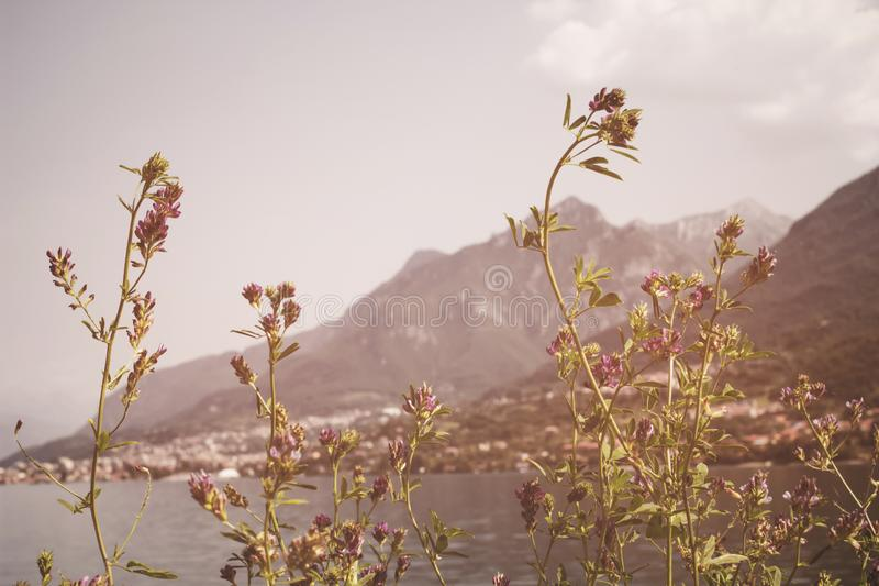 Soft focus, Beautiful flowers with mountain background, Plants dandelions, Retro vintage Instagram style filter effect background.  royalty free stock image