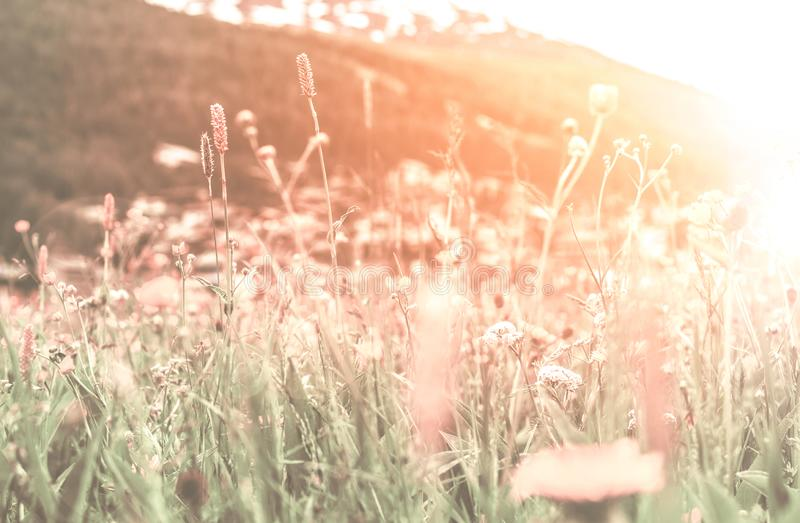 Soft focus, Beautiful flowers with mountain background, Plants dandelions, Retro vintage Instagram style filter effect background.  stock image
