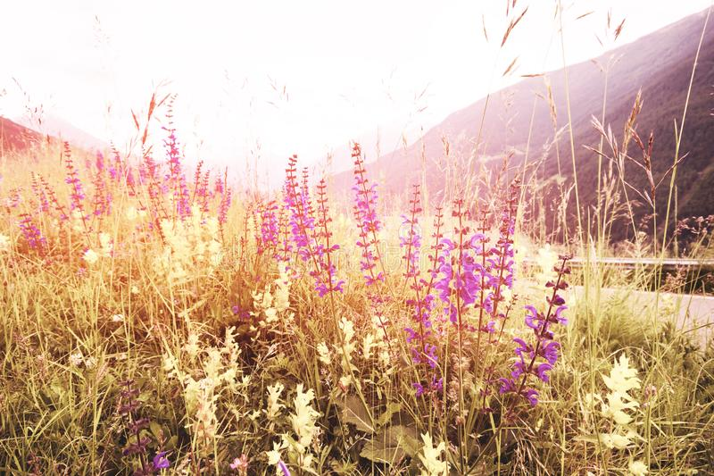 Soft focus, Beautiful flowers with mountain background, Plants dandelions, Retro vintage Instagram style filter effect background.  royalty free stock photo