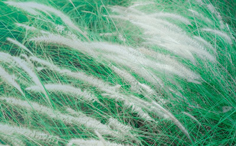 Soft focus of blown white grass field in the autumn by the wind. Abstract pattern with dark green leave color and soft light of sunset for happiness relax royalty free stock image