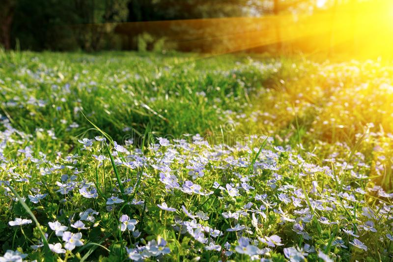 Soft focus carpet of Nemophila baby blue eyes flower with sunlight rays. Spring background. Copy space stock photo