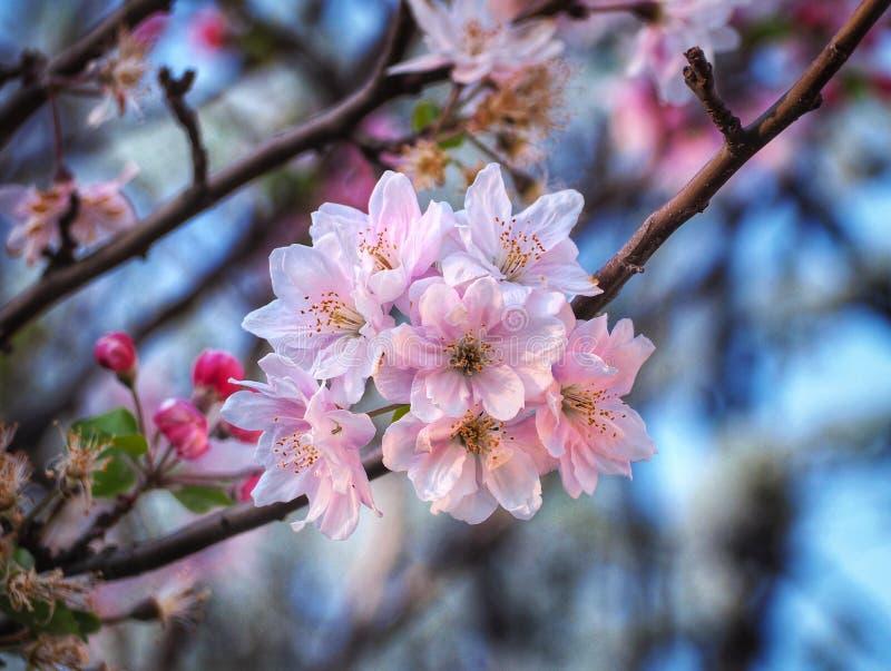 Soft focus cherry blossom or sakura flower stock images