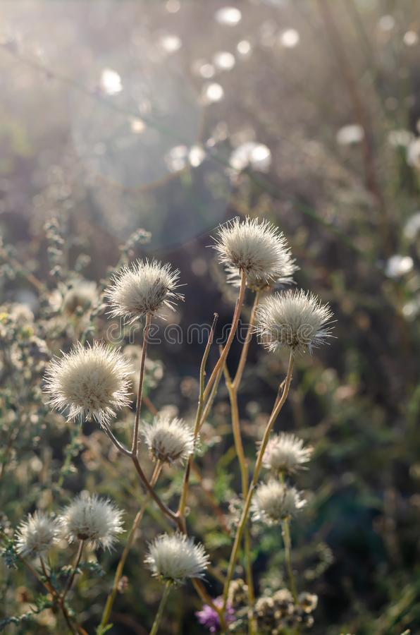 Dry white flowers Centaurea jacea are frontally lit by the sun. stock photo