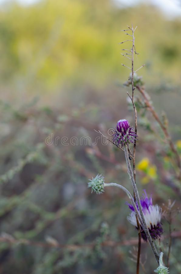White and purple flowers Centaurea jacea on the right in the foreground. royalty free stock images