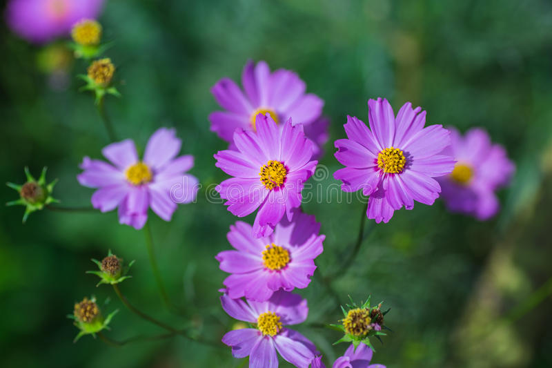 Soft focus Cosmos flowers in the garden. Soft focus Pink Cosmos flowers in the garden royalty free stock images