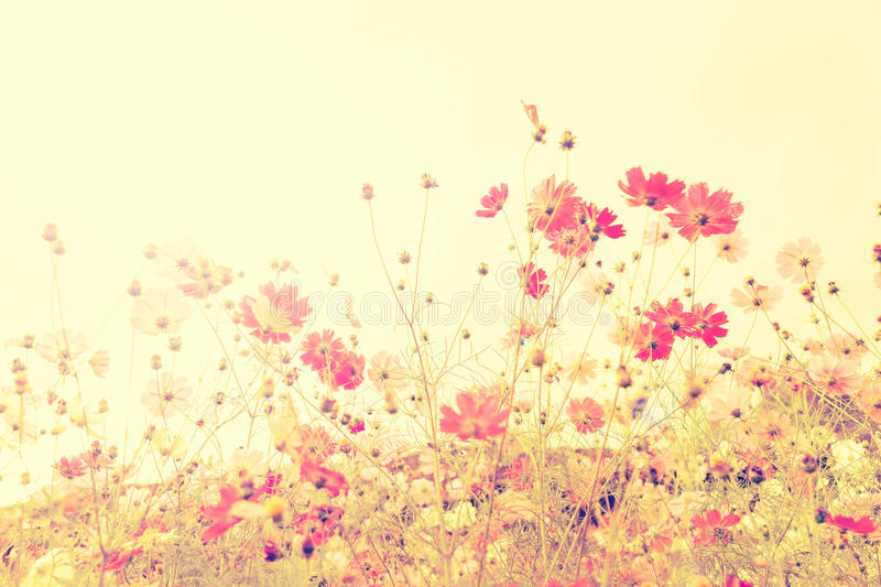 Soft focus cosmos flowers with vintage filtered color tone. Soft focus cosmos flowers with vintage filtered color tone stock image